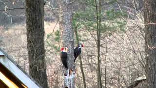 Pileated Woodpeckers In Windham, Nh