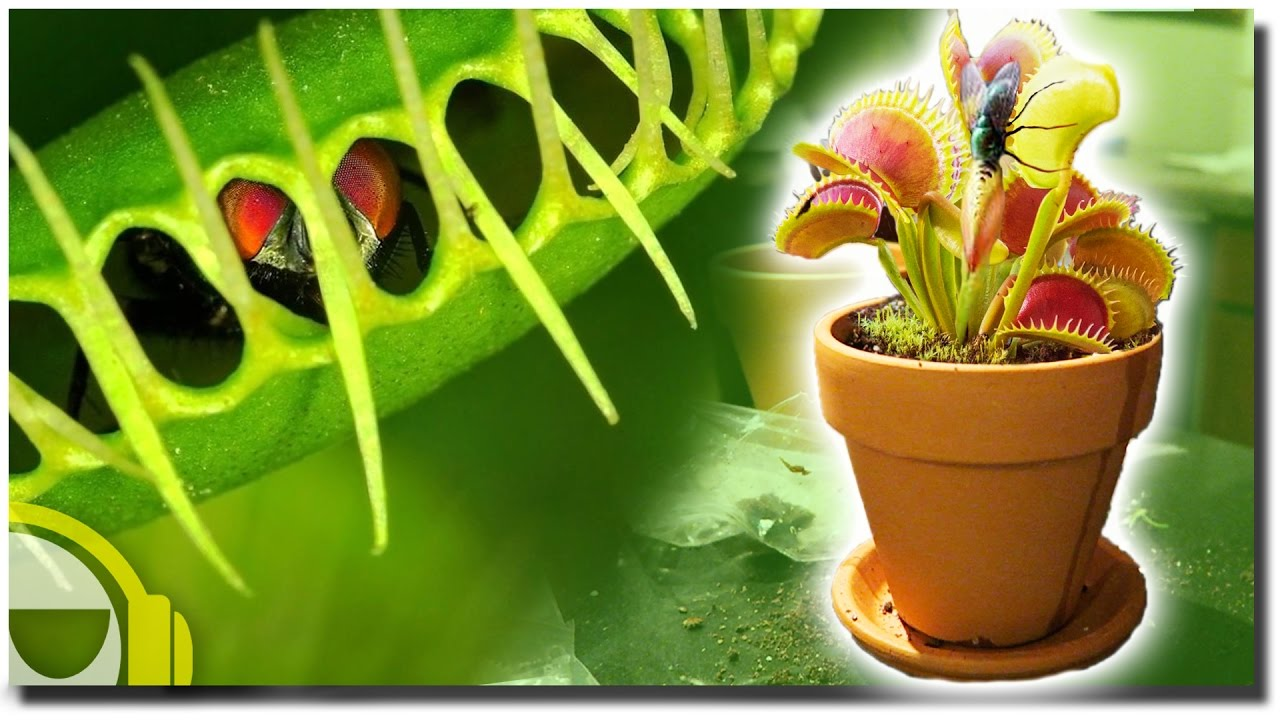 Venus flytrap - how to care for a predatory plant at home and in the garden