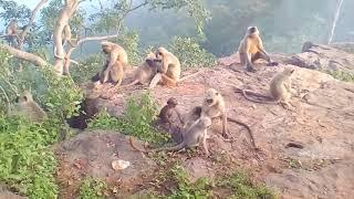 Video Monkey fun in salkanpur download MP3, 3GP, MP4, WEBM, AVI, FLV Oktober 2018