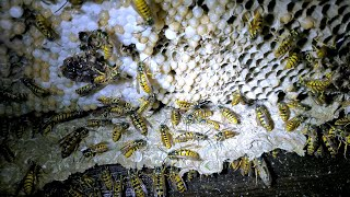 AWESOME Yellow Jacket Nest Removal Inside House - Slow Motion - ASMR