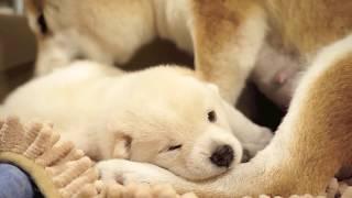 母柴犬帶滿20天小白柴犬學走路 超可愛又溫馨 シバけん shibas
