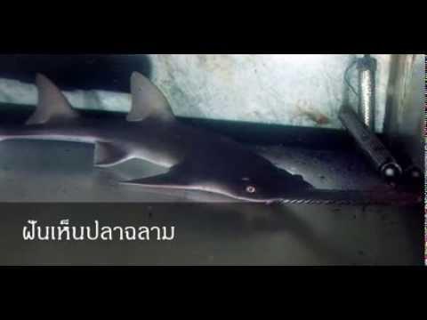 ฝันเห็นปลาฉลาม หมายถึงอะไร (เลขเด็ด)