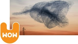 Starlings Flying | Starling Murmuration