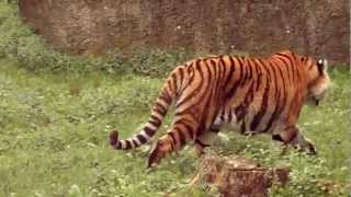 Tygrys syberyjski - Siberiane Tiger - Сибирский тигр