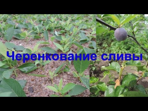 Как размножить сливу черенками