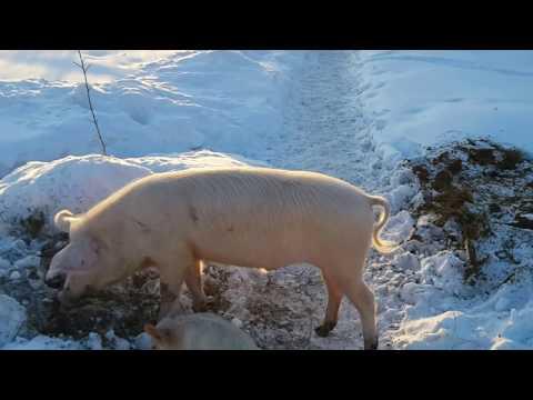 Свиньи крупная белая и ландрасы 6 месяцев - зимняя прогулка во дворе