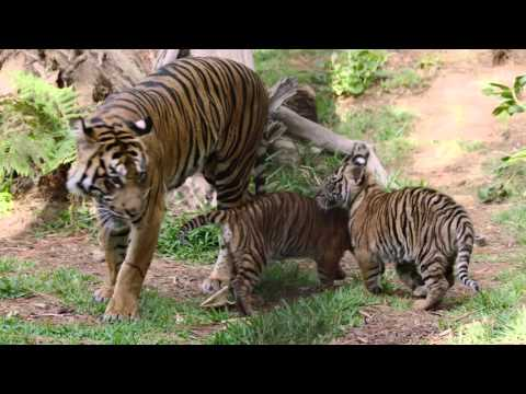 Endangered Sumatran Tiger cubs make their debut