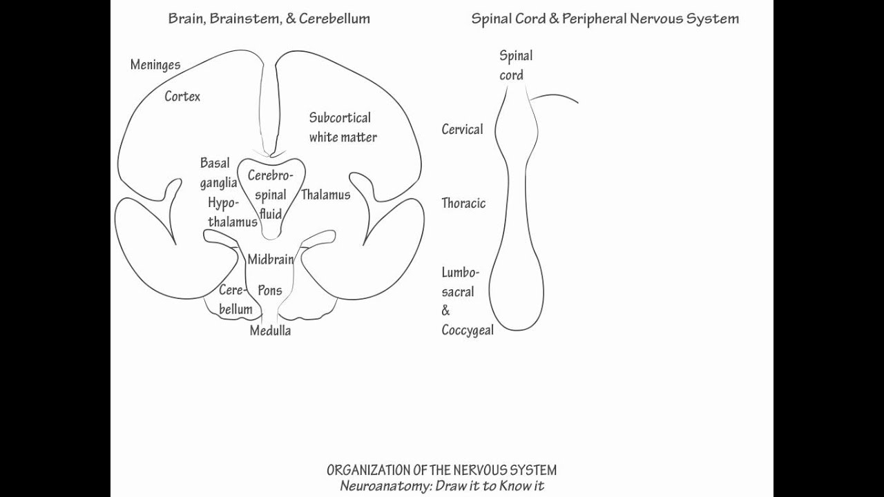 organization of the nervous system draw it to know it