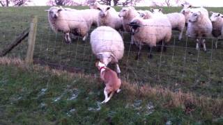 Staffordshire Bull Terrier Versus The Sheep!