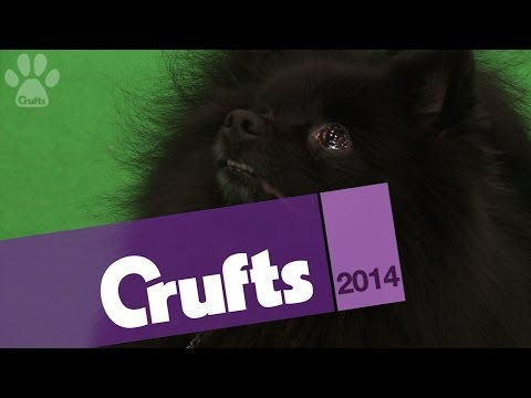 German Spitz Klein | Best of Breed | Crufts 2014