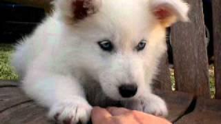 Siberian Husky Female White
