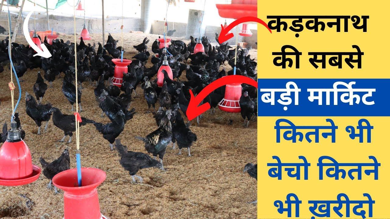 कड़कनाथ मुर्गी पालन कितनी लागत कितनी कमाई  kadaknath chicken farming,profit ,training, marketing 