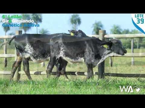 LOTE DUPLO 39 - 5400 BJ / 5382 BJ - 6º Leilão Gir & Girolando Genética Aditiva