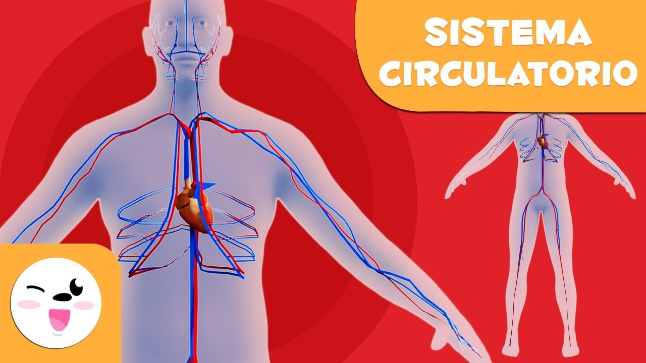 El sistema circulatorio para niños El cuerpo humano para