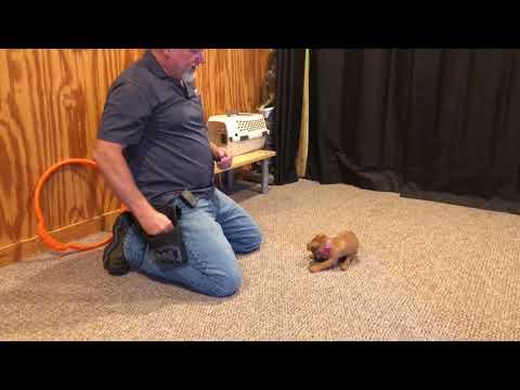"""SDSDBDH"" Anky von Dream Dog 15 Wk Hunt Terrier Puppy For Sale"