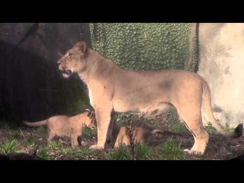 Lion cubs explore the great outdoors at Woodland Park Zoo