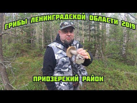 Грибы Ленинградской области 2019
