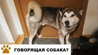 Говорящая собака зовет хозяина гулять