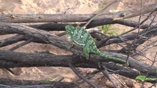 Chameleon - Botswana