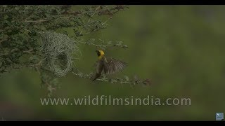 Baya Weaver birds fly to their nests with grass building materials, in Rajasthan