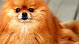 Dog Grooming : How To Groom A Pomeranian