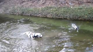 Dalmatians Swimming At East Plano Tx