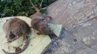 Tuzağa düşen fareler 3 tane 😯😓