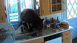 Hungry Bear Breaks Through California Kitchen Window for M&M