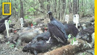 See What Happens When Three Tons of Dead Pigs Rot in the Woods | National Geographic