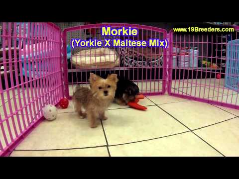 Morkie, Puppies, For, Sale, In, Billings, Montana, MT, Missoula, Great  Falls, Bozeman
