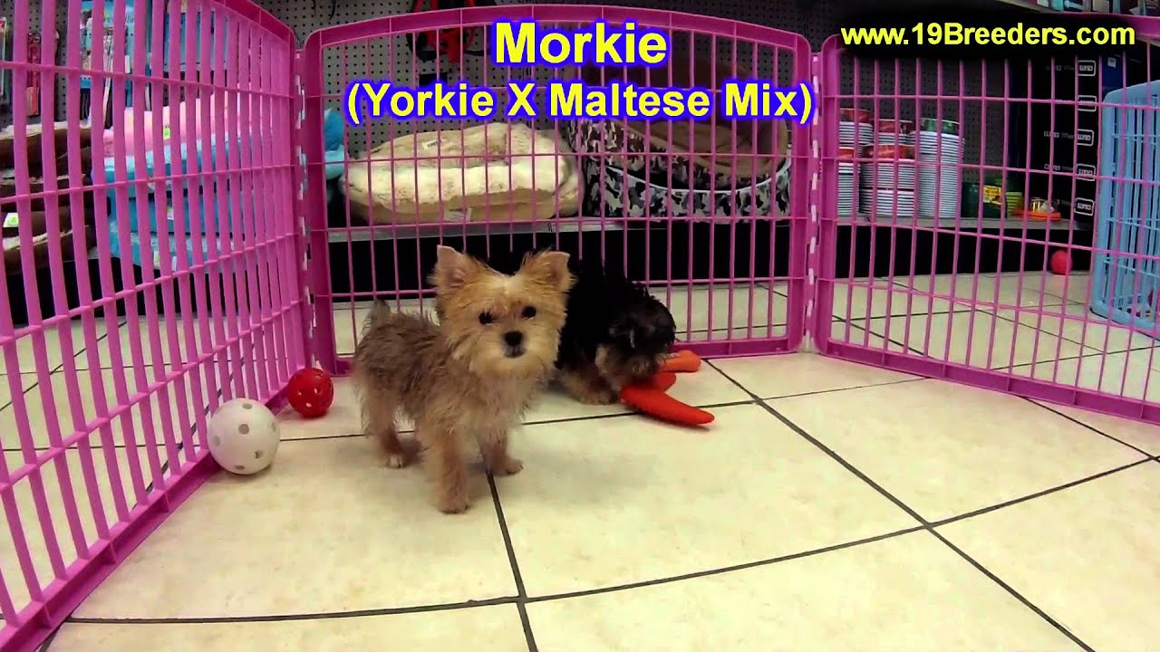 Morkie, Puppies, For, Sale, In, Billings, Montana, MT, Missoula, Great  Falls, Bozeman