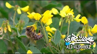 نحلة تجمع الرحيق وحبوب اللقاح من أزهار النفل في روضة خريم