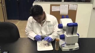 Distinguiendo hembras y machos de Drosophila melanogaster.mov