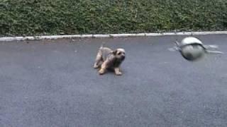 Easy, Border Terrier,  Gardien De But Amateur.