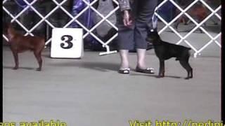 Dog Show Video United Pinscher Club Victoria Australia
