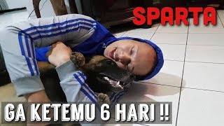 MENGHARUKAN!! REAKSI SPARTA SETELAH DITINGGAL 6 HARI! | SPARTA THE BELGIAN MALINOIS