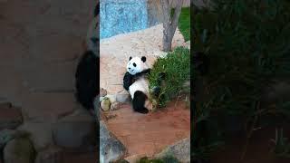 アドベンチャーワールドのパンダ「結浜(ゆいひん)」のお食事風景 thumbnail