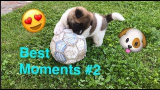 Akita Inu Yuki American Akita Baby (6 wochen) Best Moments #2