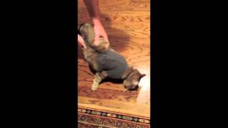 Hilarious hypnotized cat in shirt