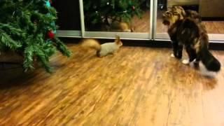 Белка пристает к коту
