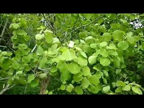 Why are Aspen Leaves Always Trembling? Nature Insights