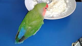 Я в шоке!!!!! Попугаи питаются творогом!!! Оказывается он для них очень полезен.
