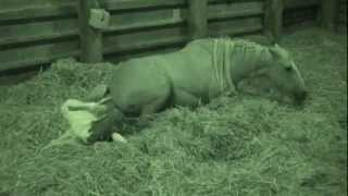 Horse Foaling, Cob Mare Giving Birth, Coloured Foal Being Born