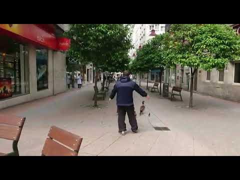 Una familia de gansos se 'pasea' por Pontevedra