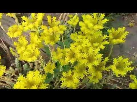 Седум (очиток) почвопокровный в моём саду
