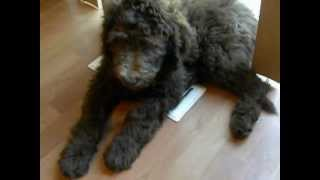 F1B Labradoodle - Lucy and Loli