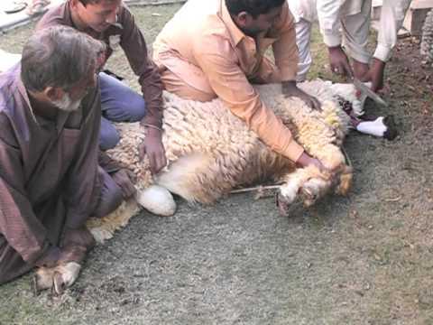 goat qurbani in gujranwala 2011