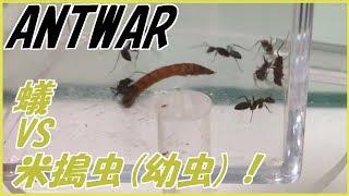 蟻は高度な社会性を持つ昆虫である。 ~The ANT is advanced social ins...