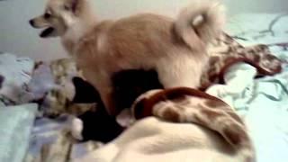 Funny dog rapes stuff animal