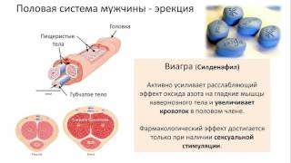 20. Половая система (8 класс) биология, подготовка к ЕГЭ и ОГЭ